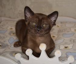 котенок Европейская Бурма