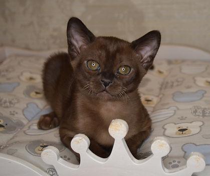 котенок Европейская Бурма.JPG