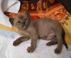Котенок Бурма соболиного окраса
