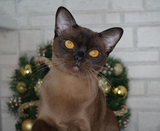 бурманский котенок соболиного окраса.JPG
