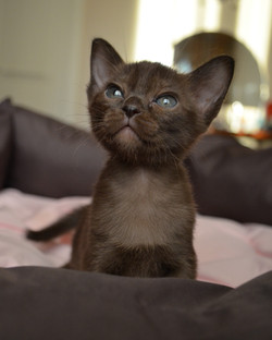 Бурманский котенок из питомника Secret P
