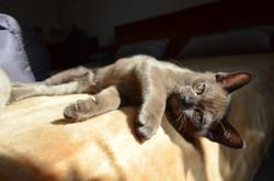 Бурманкий котенок соболиного окраса