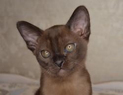 фото соболиного котенка