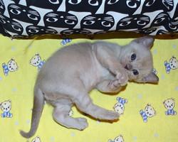 Котенок Бурма шоколадного окраса