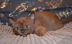 Бурманский котенок .Продажа.