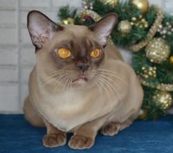 Бурманский кот шоколадного окраса