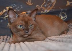 Бурманский котенок Glafira