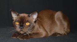 Бурманская кошка соболиного окраса 6 мес