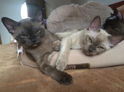 Бурманские котята.Помет А