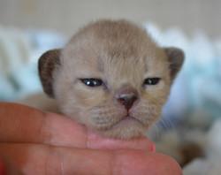 Бурманский котенок соболь