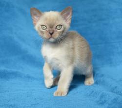 купить бурманского котенка