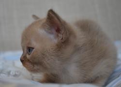 Бурманский котенок окрас шоколадный,ДР 0