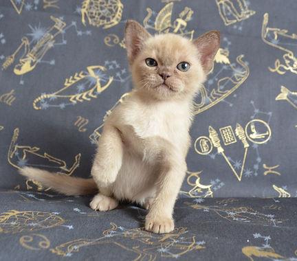 Бурманский котенок шоколадного окраса.Бу