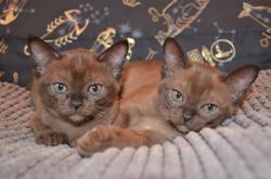 Фото Бурманских котят Глаша и Гейша