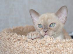 Бурманские котята из питомника продажа