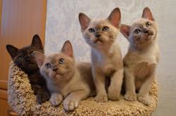 Питомник бурманских кошек