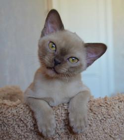 фото бурманского котенка