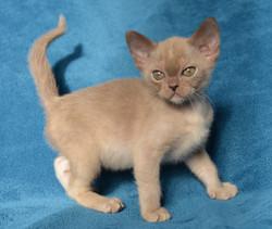 фото бурманского котенка шоколадного окр