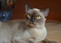 Бурманская кошка шоколадного окраса