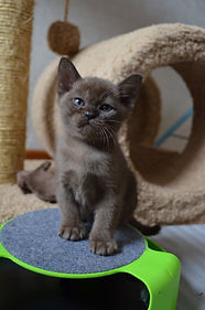 Соболиный бурманский котенок