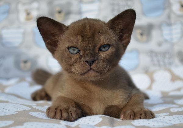 фото бурманского котенка соболиного окра