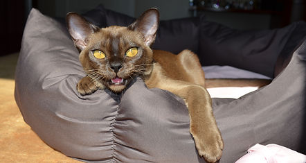 Бурманская кошка,бурманские котята,европейская бурма