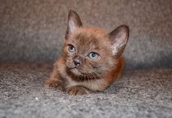 Кошечка породы Европейская бурма 1 м