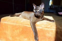 Бурманская кошка.(Бурма)