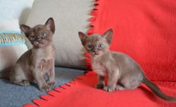Бурманские котята соболиного окраса