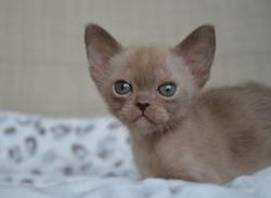 бурманский котенок (девочка) окрас шокол