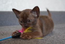 бурмаский котенок соболь