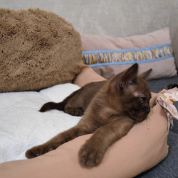 Котенок Атлас (соболь)