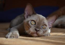 Бурманский котенок шоколадного окраса