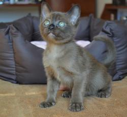 Бурманский соболиный котенок