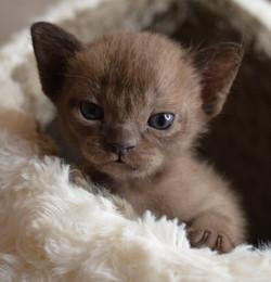 Купить соболиного котенка бурму.