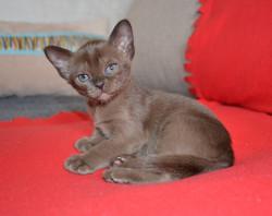 Бурманский котенок соболиного окраса_