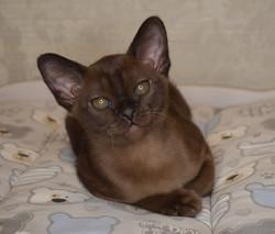 купить бурманского соболиного котенка