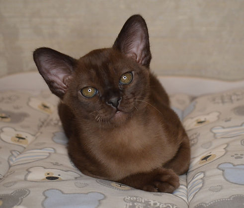купить бурманского соболиного котенка.JP