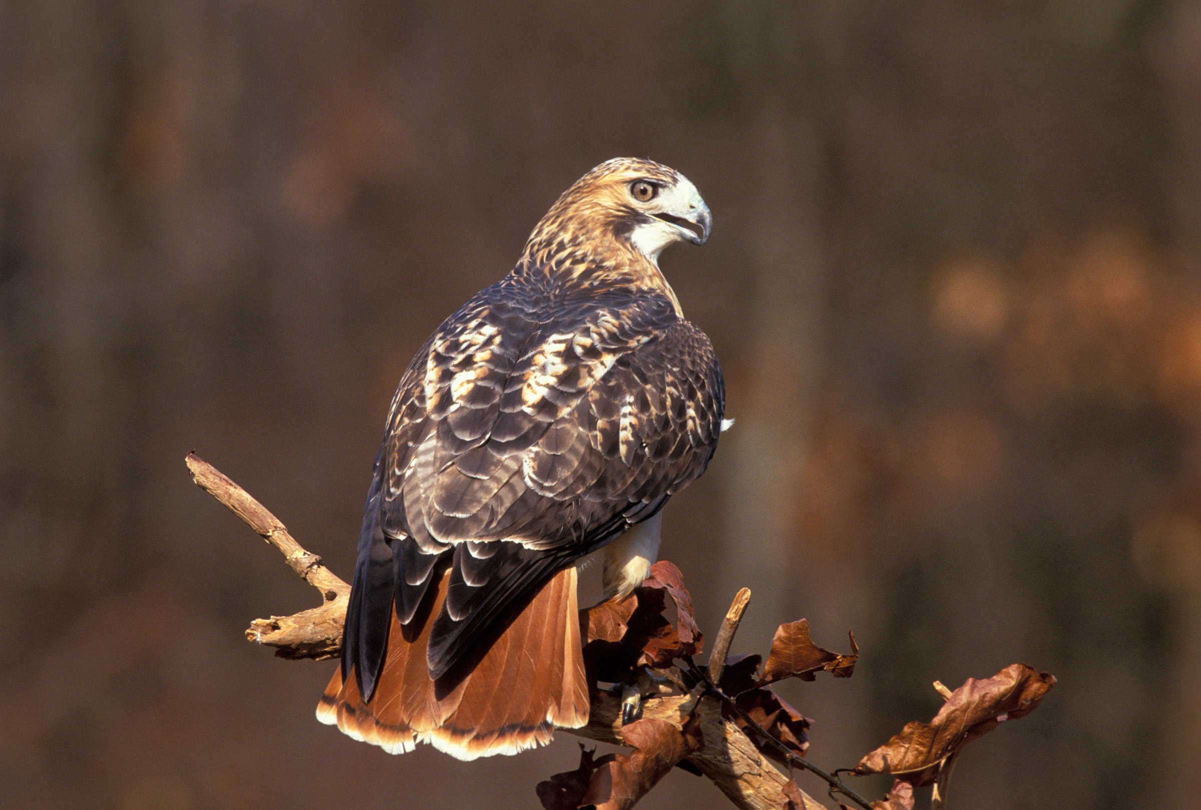 Red-tailed Hawk v11-13-016_V