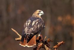 Red-tailed Hawk v11-13-016_V