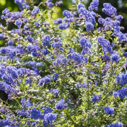 15601161-the-lovely-blue-flowers-of-a-california-lilac-bush2_edited