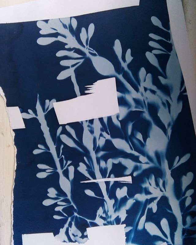 Seaweed cyanotype after Anna Atkins