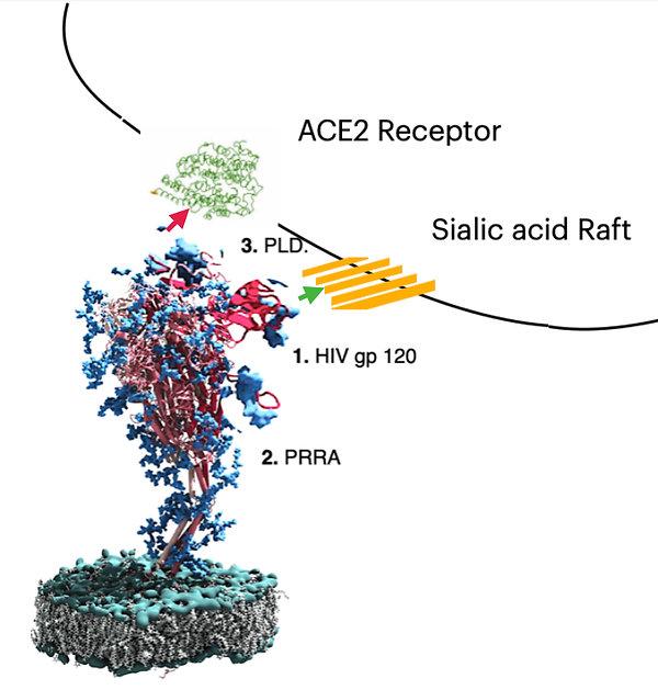 Updated Spike Protein.jpg