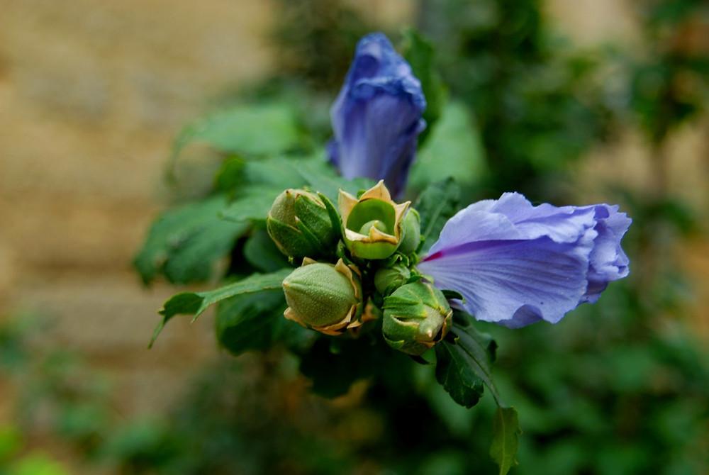Photo d'une fleur violette prête à éclore