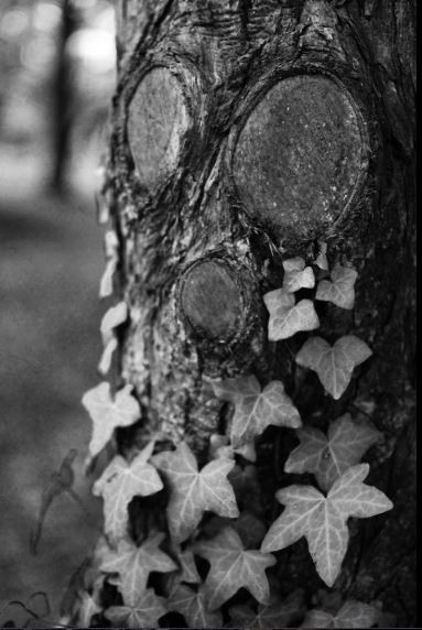 Photo d'un tronc d'arbre avec un peu de lierre qui remonte.