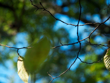 Moringa oleifera, un arbre qui nous apporte beaucoup.