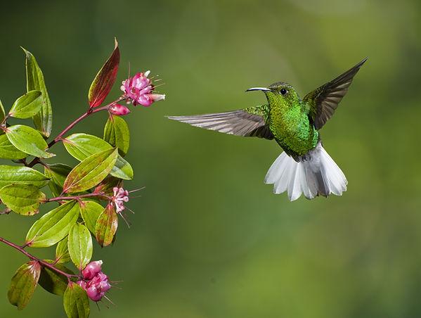 kostarika kolibřík