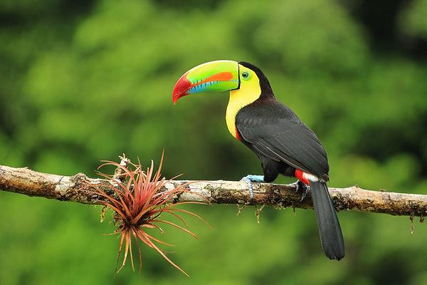 kostarika tukan