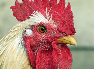animal-bird-chicken-63240.jpg