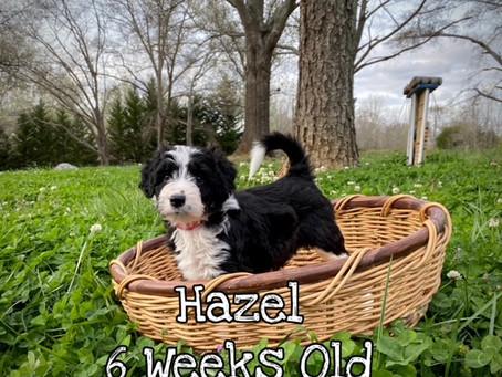 Hazel 6 Weeks Old